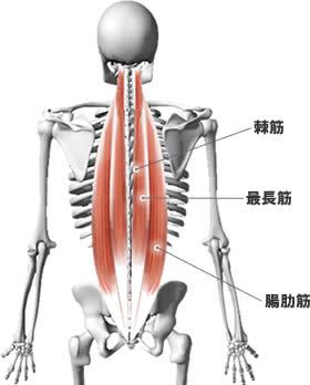 「脊柱起立筋」の画像検索結果