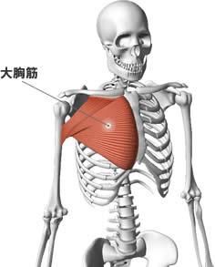 大胸筋の解剖図