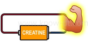 クレアチンは筋肉の中で、エネルギーを蓄える物質です