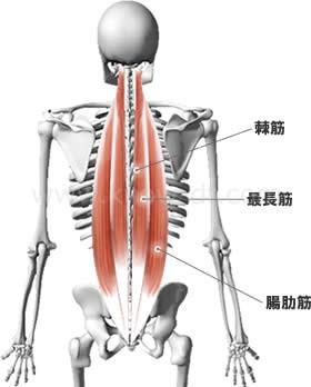 脊柱起立筋 棘筋・最長筋・腸肋筋