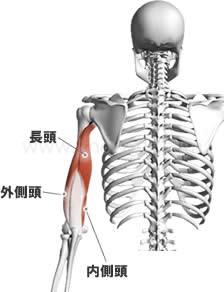 上腕三頭筋 長頭・外側頭・内側頭