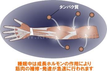 睡眠中は成長ホルモンの作用により筋肉の補修・発達が急速に行われます