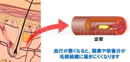 血行が悪くなると、酸素や栄養分が毛根組織に届きにくくなります