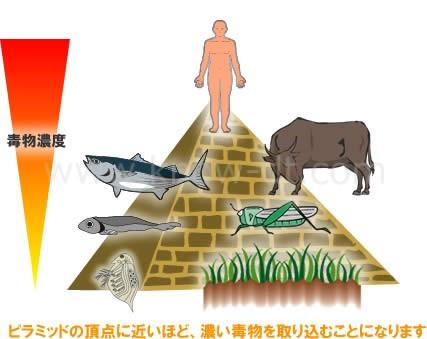 ピラミッドの頂点に近いほど、濃い毒物を取り込むことになります