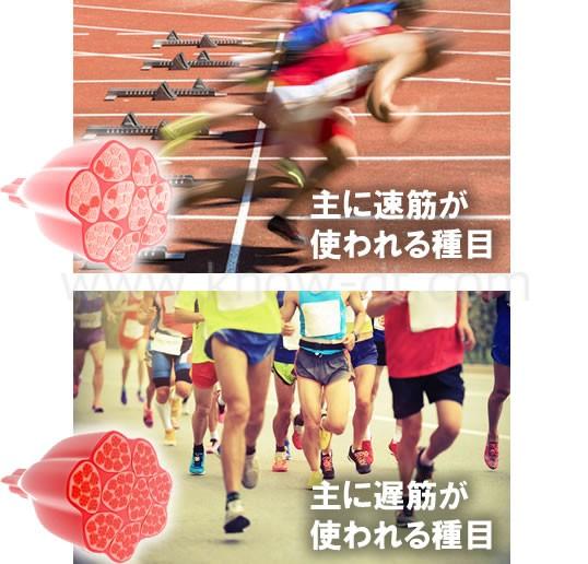 筋肉の種類とスポーツ適正