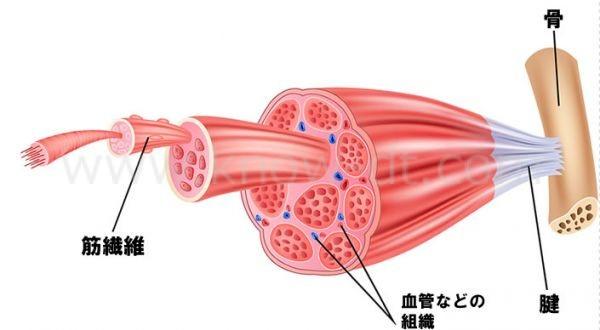 筋肉と周辺組織の構造