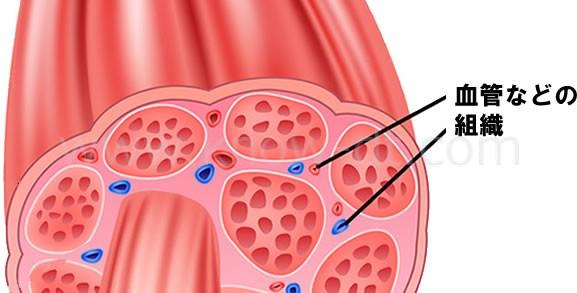 筋肉の断面と周辺組織